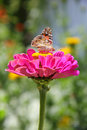 Butterfly On Zinnia Flower Royalty Free Stock Photo - 27932635