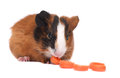 Guinea Pig Royalty Free Stock Images - 27940149