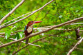 White-throated Kingfisher Bird Stock Images - 27945804