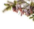 Pine Branch Royalty Free Stock Images - 27949289