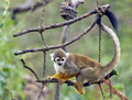 Common Squirrel Monkey  Royalty Free Stock Photos - 27964078