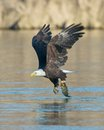 Bald Eagle With Fish Stock Photography - 27964792