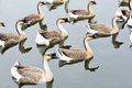 A Group Of Geese Royalty Free Stock Images - 27976159