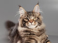 Kitten On A Gray Background. Royalty Free Stock Photo - 27986875