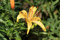 Tiger Lily Royalty Free Stock Images - 27999049