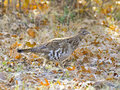 Grouse On Frosted Leaves Stock Photo - 28000210