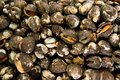 Fresh Raw Clams Royalty Free Stock Photos - 28013448