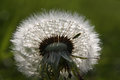 Tiny Insect In A Dandelion Stock Images - 28015434