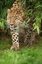 Amur Leopard Royalty Free Stock Photography - 28019407