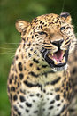 Grinning Amur Leopard Royalty Free Stock Images - 28019449