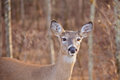 White Tailed Deer Stock Photos - 28039433
