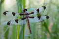 Twelve-spotted Skimmer Royalty Free Stock Image - 28050246
