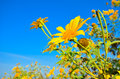 Mexican Sunflower Weed Stock Photography - 28054382