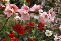 Japanese Quince Stock Photos - 28059283