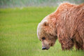 Alaska Brown Bear Green Grass Meadow Royalty Free Stock Photography - 28071347