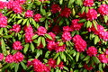 Pink Rhododendron Stock Photography - 28082912
