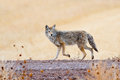 Coyote Royalty Free Stock Photos - 28089318