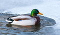 Mallard Duck Royalty Free Stock Image - 28109596