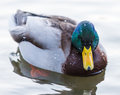 Mallard Duck Royalty Free Stock Images - 28109599