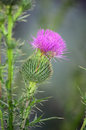 Blossoming Burdock Stock Image - 28110781