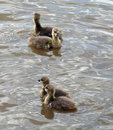 Ducklings Royalty Free Stock Photos - 28119038