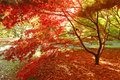 Japanese Maple Stock Image - 28136461