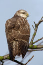 Buzzard Royalty Free Stock Images - 28156529