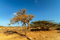 Dry Twisted Tree In A Desert Royalty Free Stock Images - 28160669