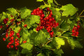 Red Currant Royalty Free Stock Photos - 28170458