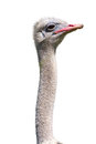 Ostrich Royalty Free Stock Images - 28174539