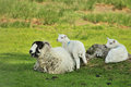 Swaledale Ewe Sheep, And Twins Royalty Free Stock Photography - 28176987
