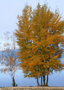 Two Trees In Autumn Royalty Free Stock Photos - 28193188