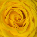Yellow Rose Stock Photo - 2824030