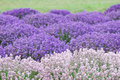 Pink And Purple Lavender Stock Image - 2824841