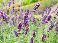 Lavender Flowers Royalty Free Stock Image - 28206816
