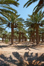 Date Palms Royalty Free Stock Image - 28212876