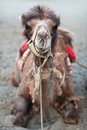Bactrian Camel In Nubra Valley, Ladakh, North India Royalty Free Stock Images - 28213929