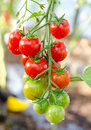 Bunch Of Cherry Tomatoes Stock Images - 28247924