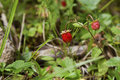 Wild Strawberry Royalty Free Stock Images - 28259259