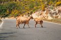 Cretan Goats On The Road Royalty Free Stock Images - 28270459