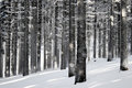 Winter Forest Scene Royalty Free Stock Image - 28277126