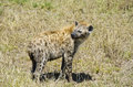 Spotted Hyena Stock Images - 28280754