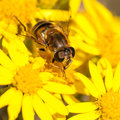 At Home Amongst The Ragwort Royalty Free Stock Image - 28285846