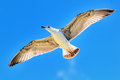 Seagull Flying Royalty Free Stock Photography - 28288337