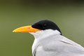 River Tern Closeup Royalty Free Stock Photography - 28290257
