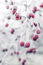 Frozen Rosehips Royalty Free Stock Photos - 28294138