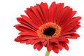 Red Gerber Daisy Royalty Free Stock Photography - 2837707