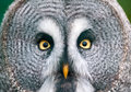 Great Grey Owl Stock Images - 28307394