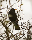 Blackbird On A Branch Stock Images - 28308364
