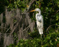 Great White Egret On The Banyan Tree Stock Photography - 28331082